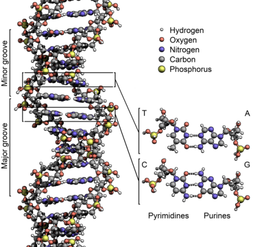 615px-dna_structurekeylabelled